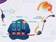 Nature:显著抑制致命肝癌生长的新型药物--eFT508横空出世!