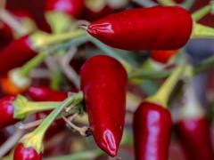 澳大利亚重磅发现!吃辣椒可减缓肺癌生长,阻止转移!成新抗癌武器指日可待