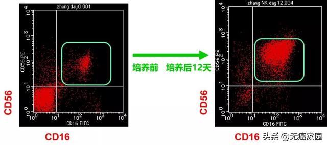nk细胞培养前后显微镜图