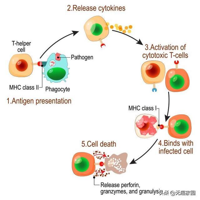nk细胞发挥作用的过程