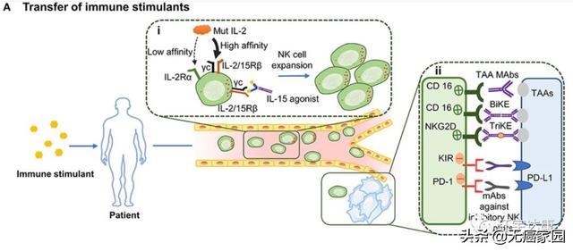 细胞因子激活NK活性间接抗肿瘤