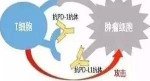 pd1和pdl1帮助T细胞攻击癌细胞