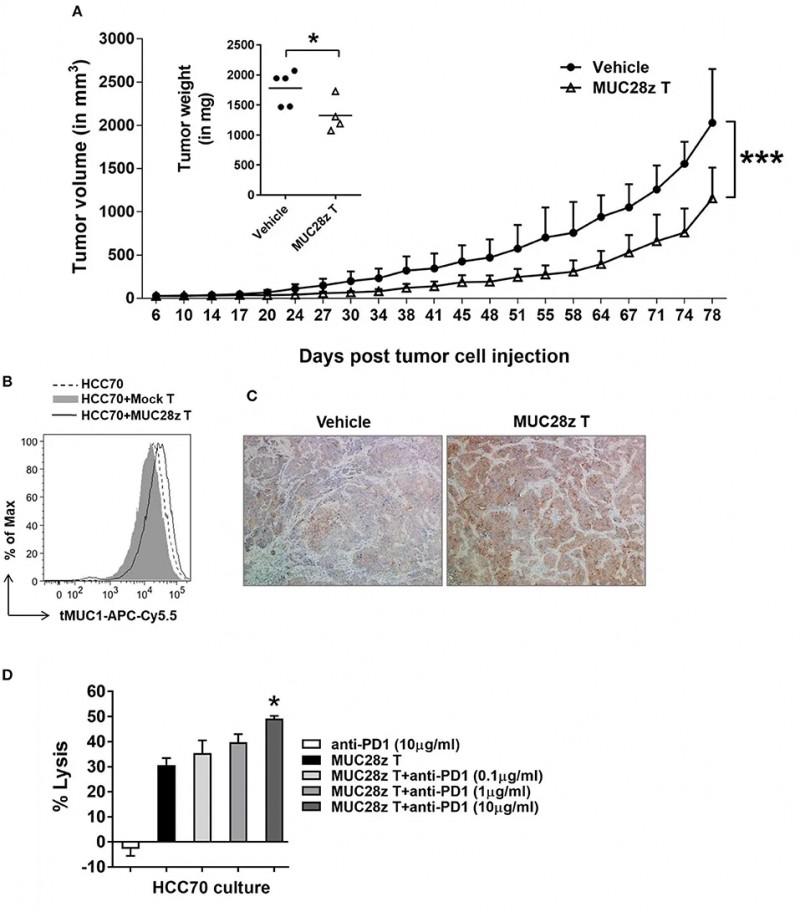 CAR-T细胞具有体内缩小HCC70肿瘤的长期疗效