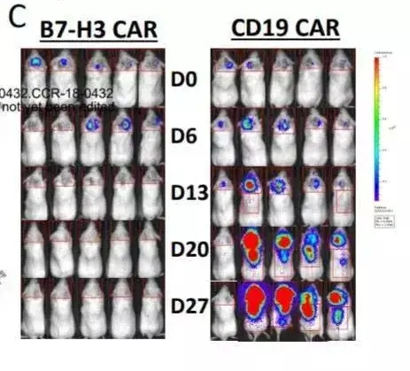 左边为接受B7-H3 CAR-T治疗小鼠;右边为CD-19 CAR-T治疗小鼠