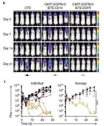 分泌BiTE靶向EGFR的CART-EGFRvIII细胞,让小鼠脑内的肿瘤在3周之内显著缩小甚至完全消失