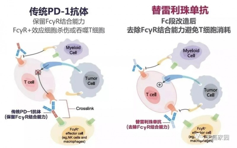 传统PD1抗体和替雷利珠单抗
