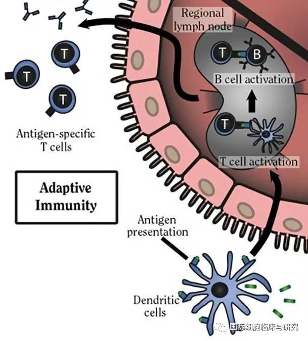树突细胞疫苗
