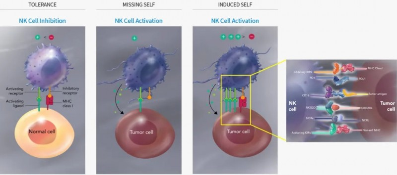 NK细胞杀死异常细胞