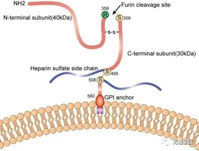GPC3在细胞膜上的示意图
