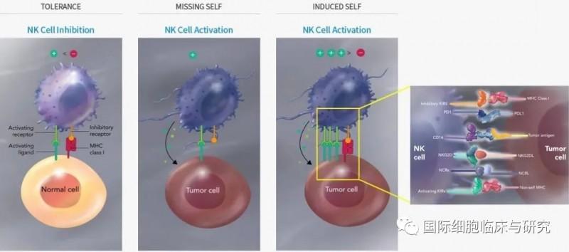 NK细胞识别异常细胞并分泌杀死癌细胞的物质