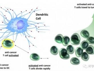 树突状细胞疫苗,树突细胞免疫疗法,DC细胞免疫疗法在各类癌症中的研究进展盘点