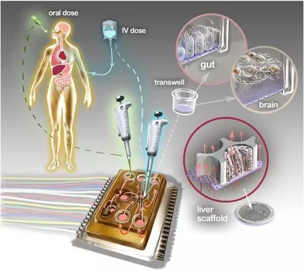 类器官培养过程