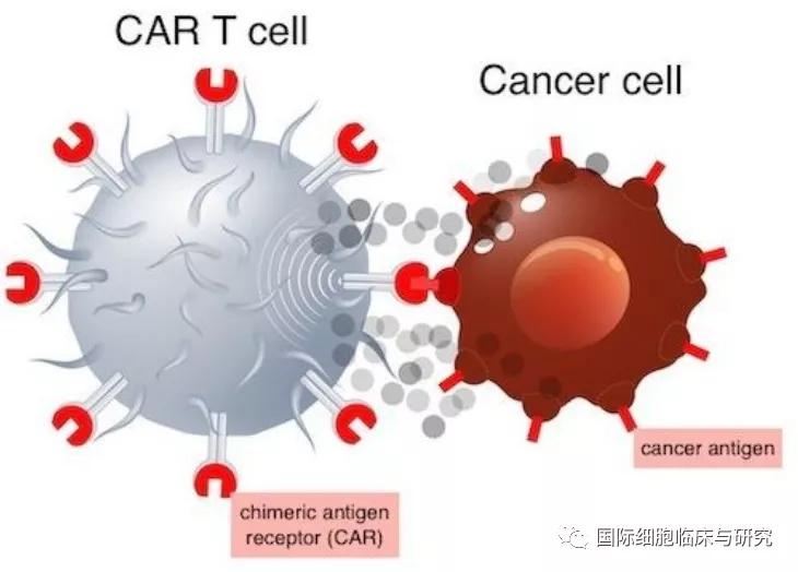 CAR-T细胞