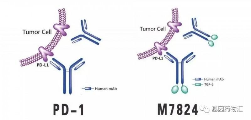 PD-1和M7824