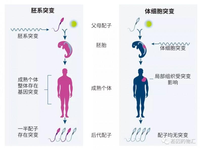 胚系突变和体细胞突变