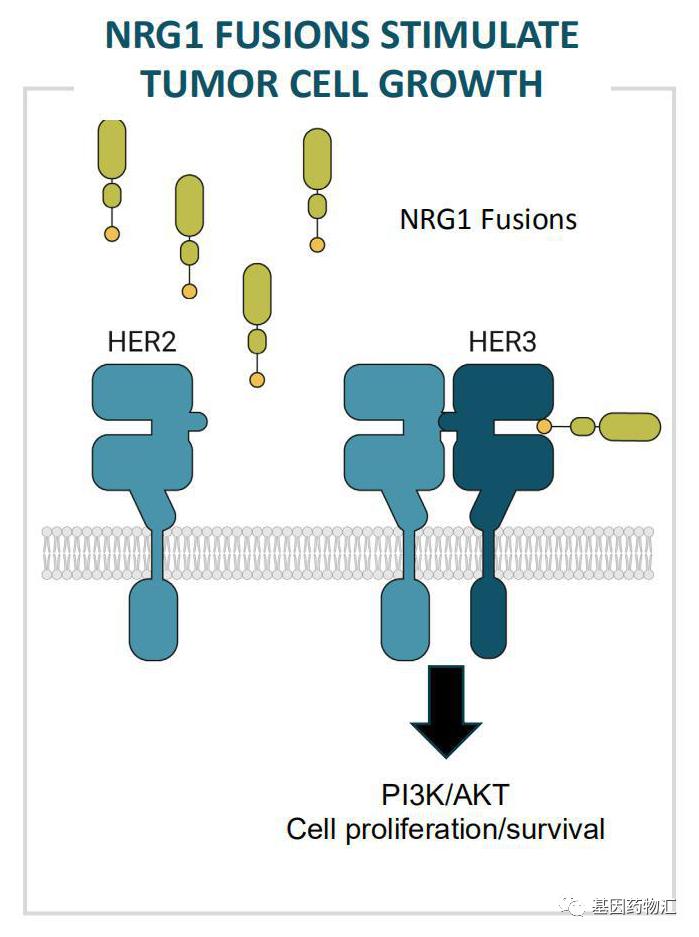 NRG1突变致癌示意图