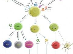 """""""小众""""的癌症肿瘤细胞免疫治疗-γδT细胞疗法"""