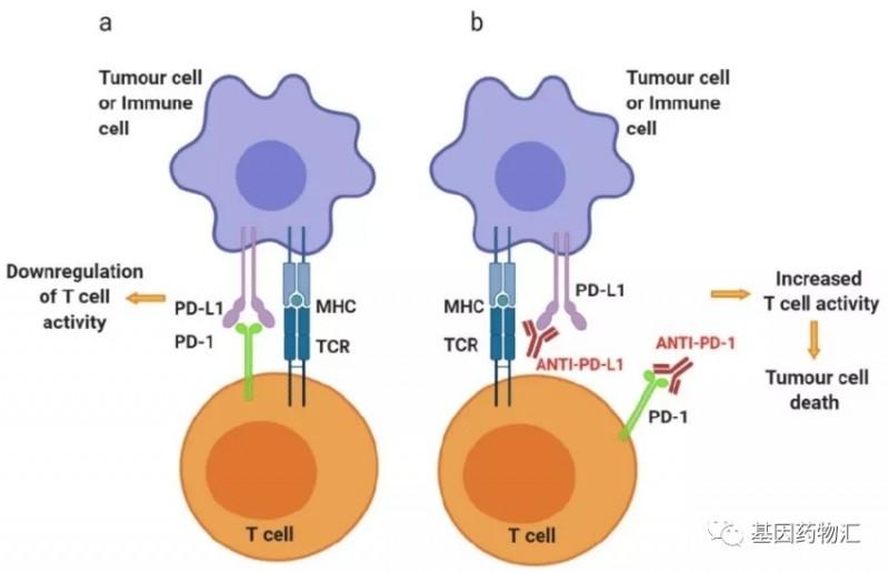 PD-1和PD-L1免疫检查点