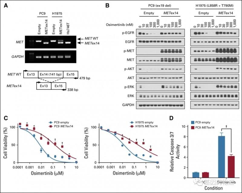 MET异常和EGFR抑制剂耐药的关系